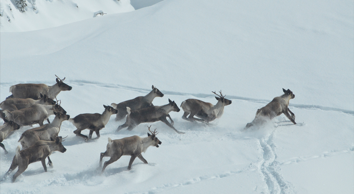 Best way to save the caribou