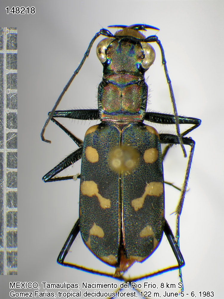 Some Mexican Tiger Beetles | Faculty of Science