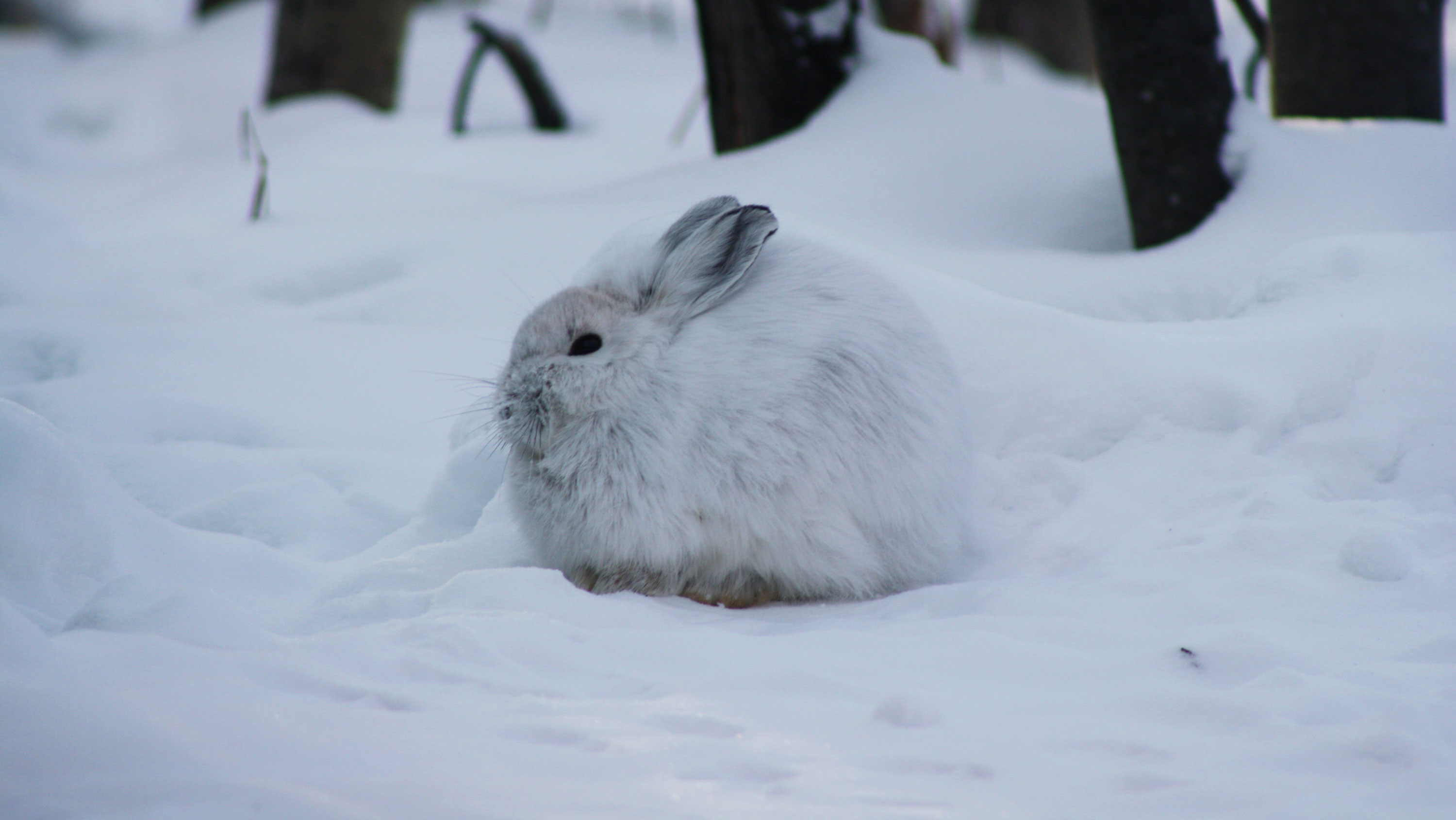 A snowshoe hare resting during a cold winter day