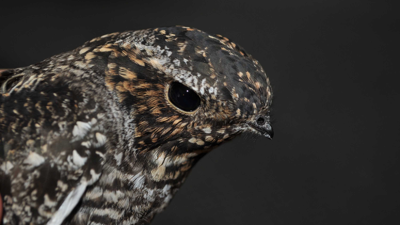 The common nighthawk