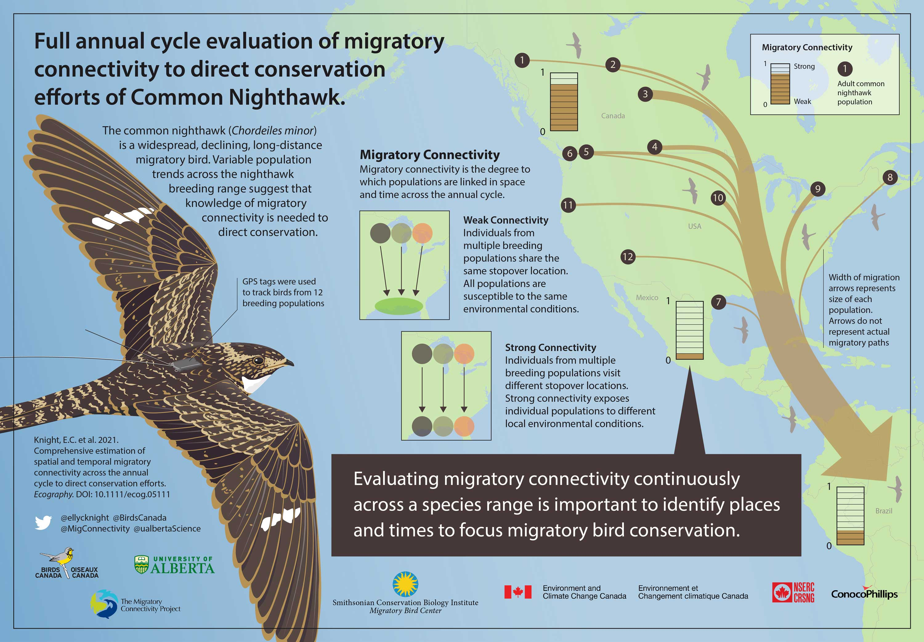 Infographic of Common Nighthawk's Migratory Connectivity