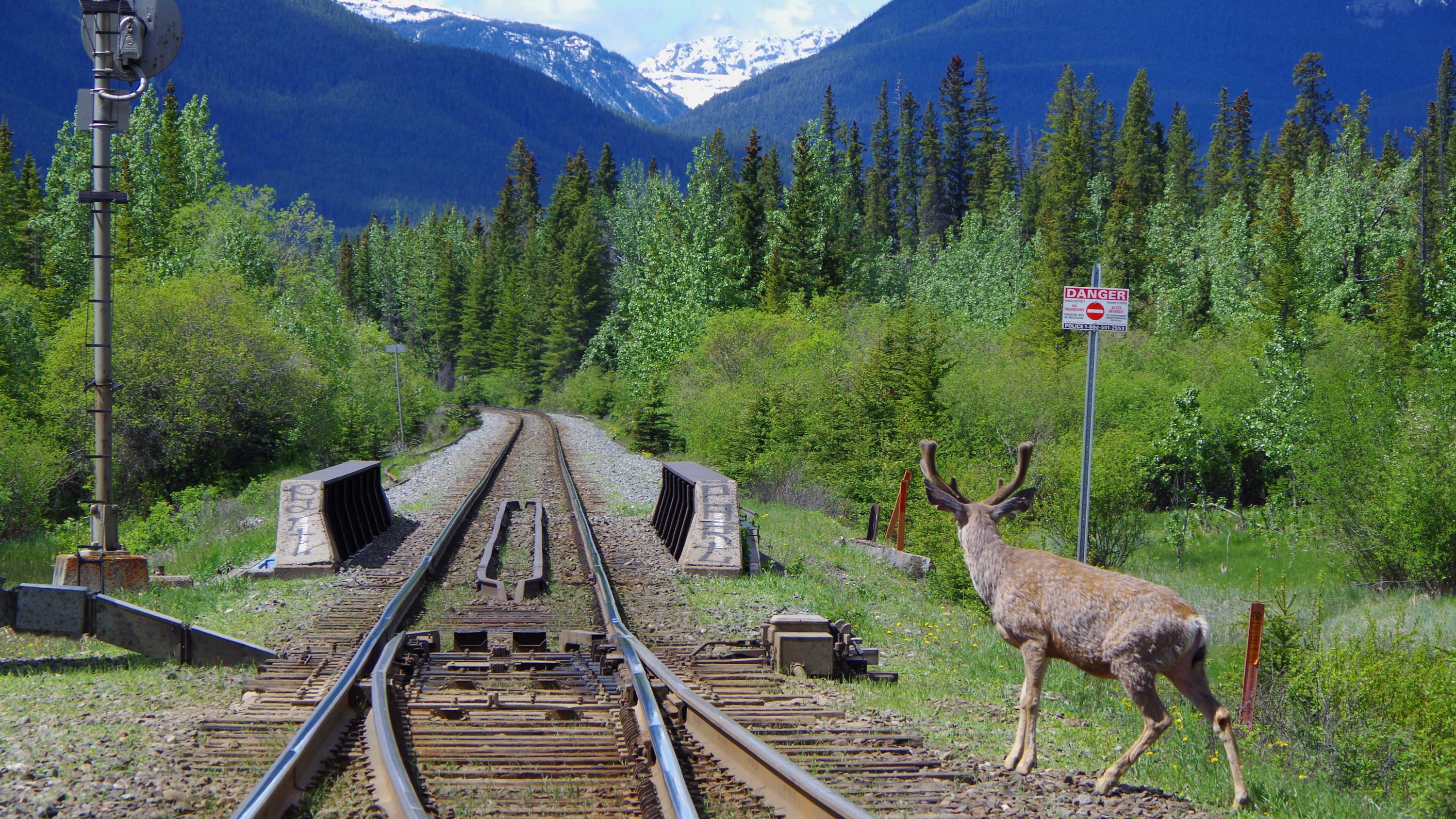 A deer next to a railroad in the rockies
