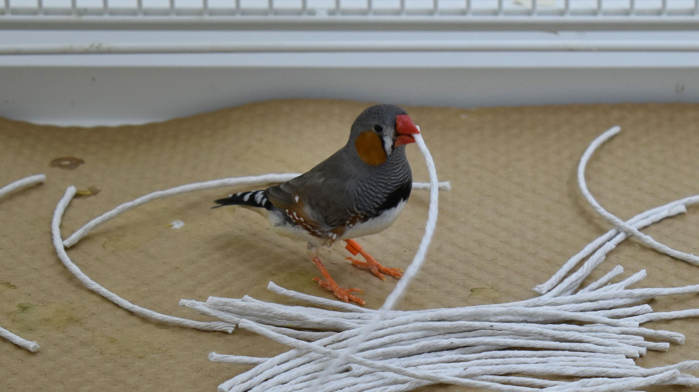 Male Zebra Finch selecting string