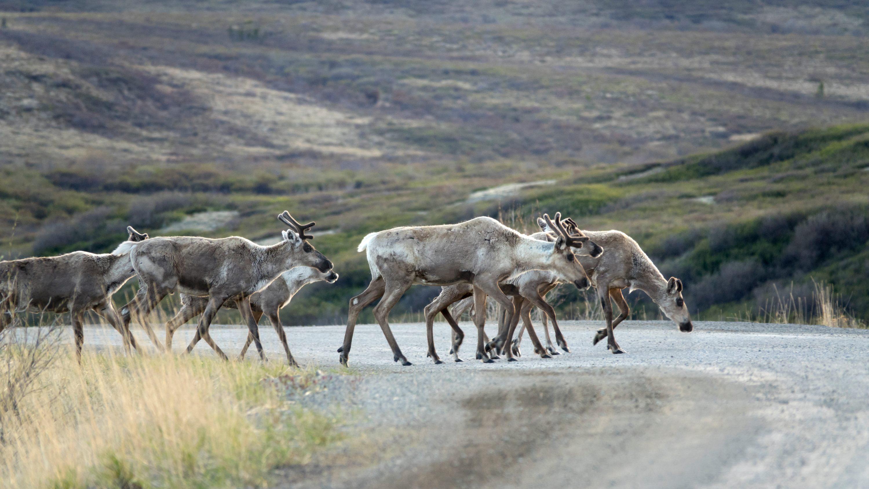210323-caribou-changing-habitat-main.jpg