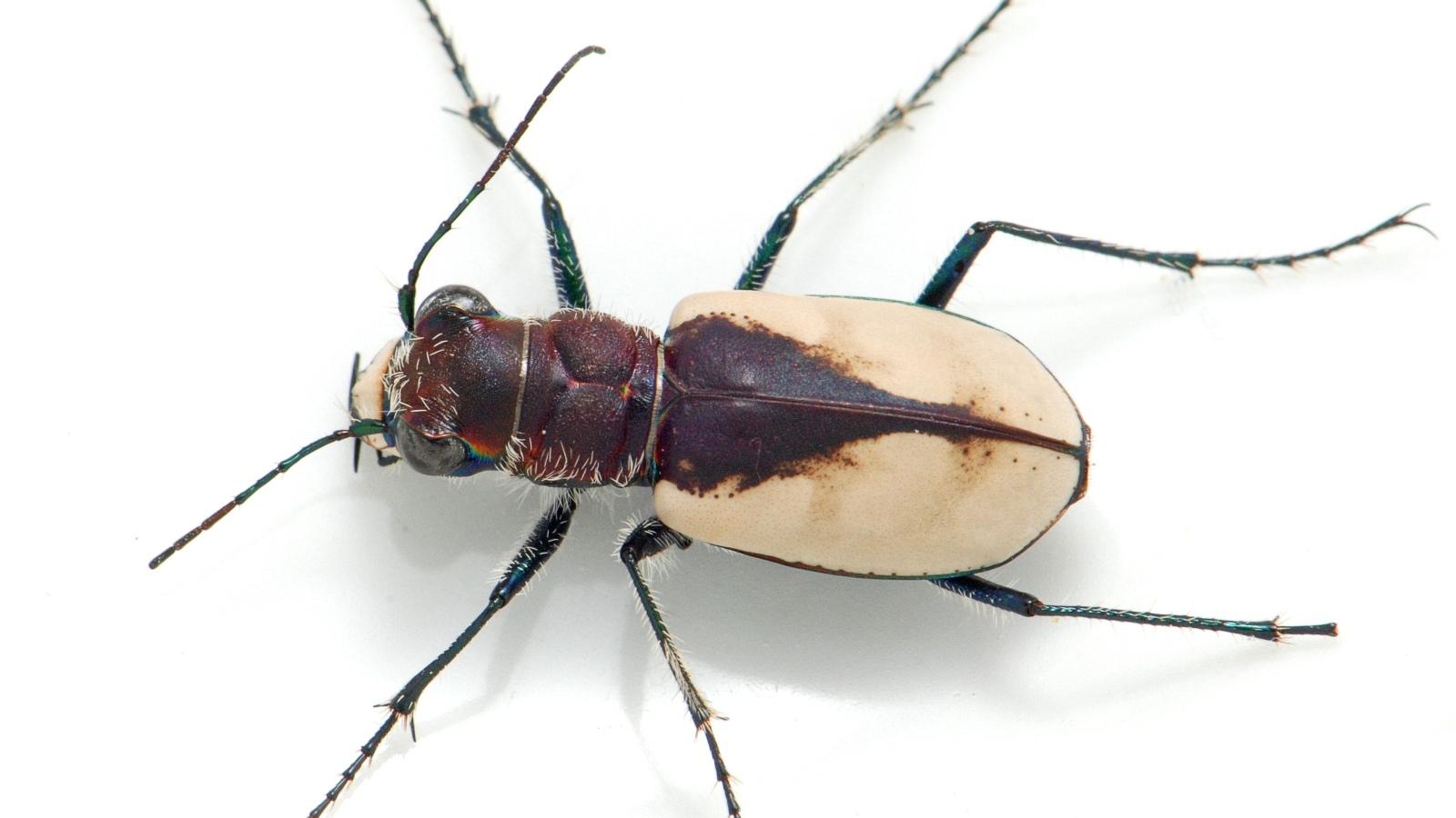 210705-gibsons-beetle-teaser.jpg