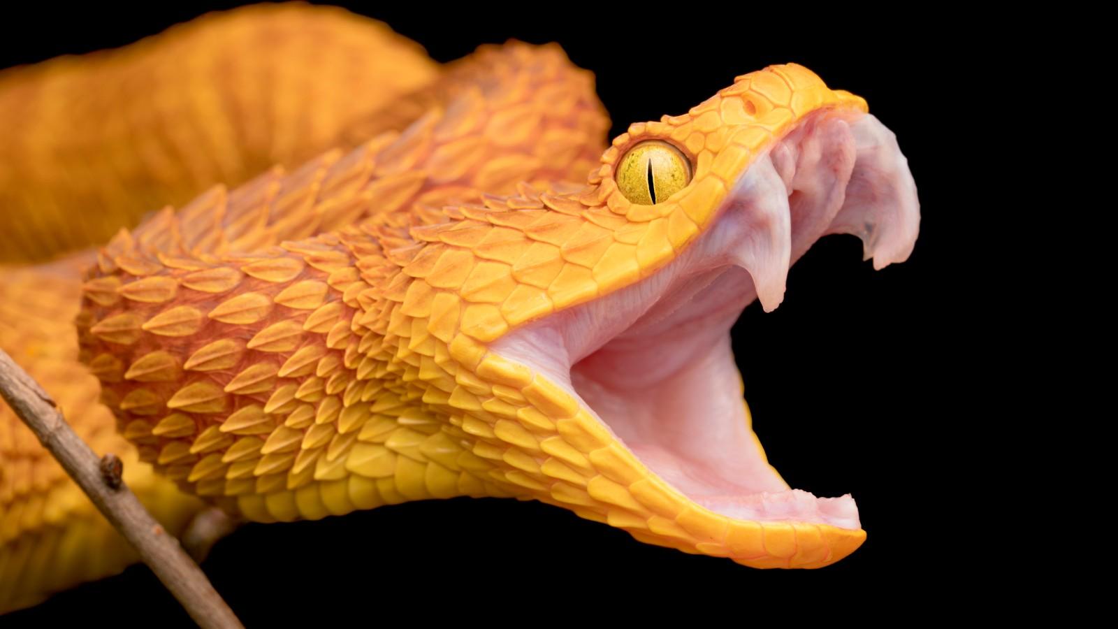 210811-snake-fangs-teaser-1600px.jpg