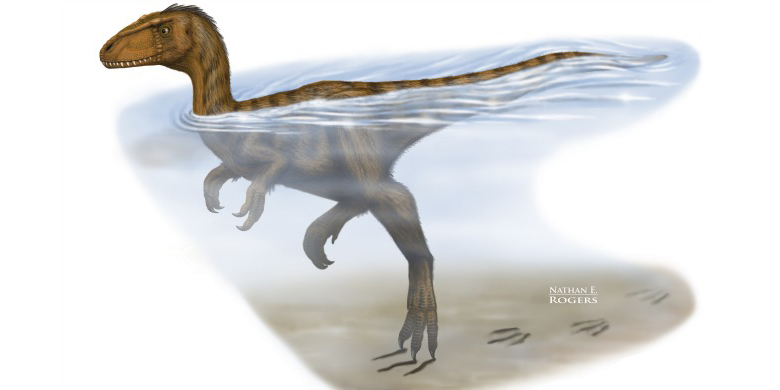 Artist's rendering of a carnivorous two-legged dinosaur swimming in a river, leaving claw marks as it touches bottom.