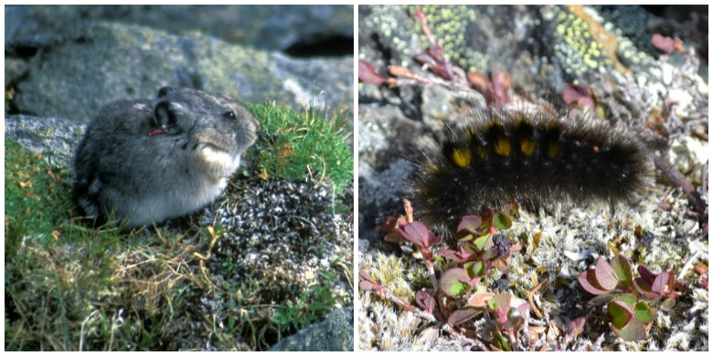 The pika (left), a small furry mammal, and the woolly bear caterpillar have worked out an unusual arrangement to share scarce food supplies in mountain areas of the southwest Yukon.