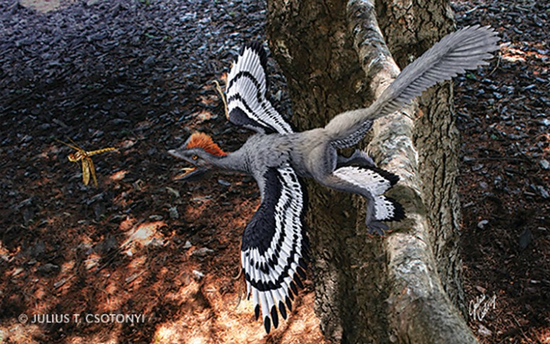 Artist's conception of the feathered dinosaur Anchiornis huxleyi (image: Julius Csotonyi)