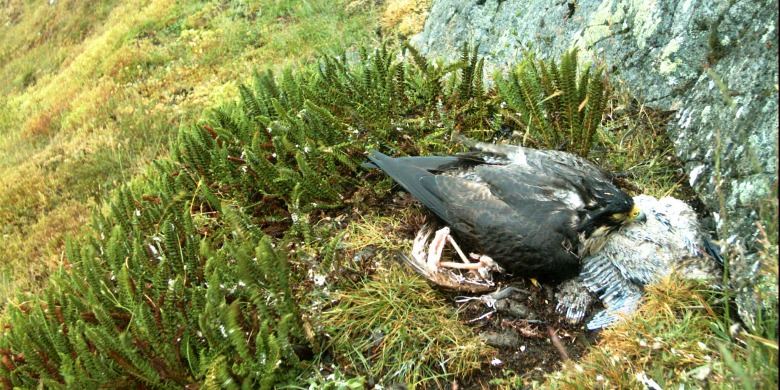 A mother peregrine falcon tries to brood two chicks that have died from exposure to cool and wet conditions caused by heavier rainfall in the Arctic.
