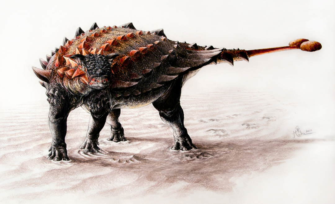 Artist's conception of the newly discovered ankylosaur, Ziapelta sanjuanensis