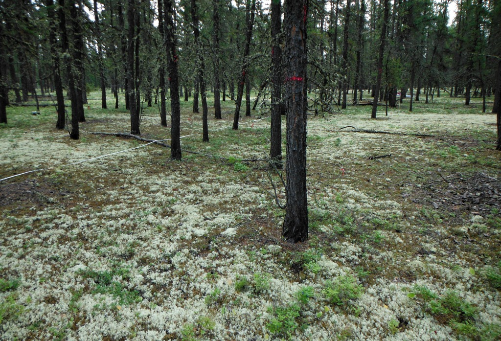 A UAlberta study examined how nitrogen and sulphur emissions from oilsands development are affecting surrounding forests. Researchers found that pine trees experienced up to 30 per cent growth in tree diameter since development began and that lichen was still abundant.