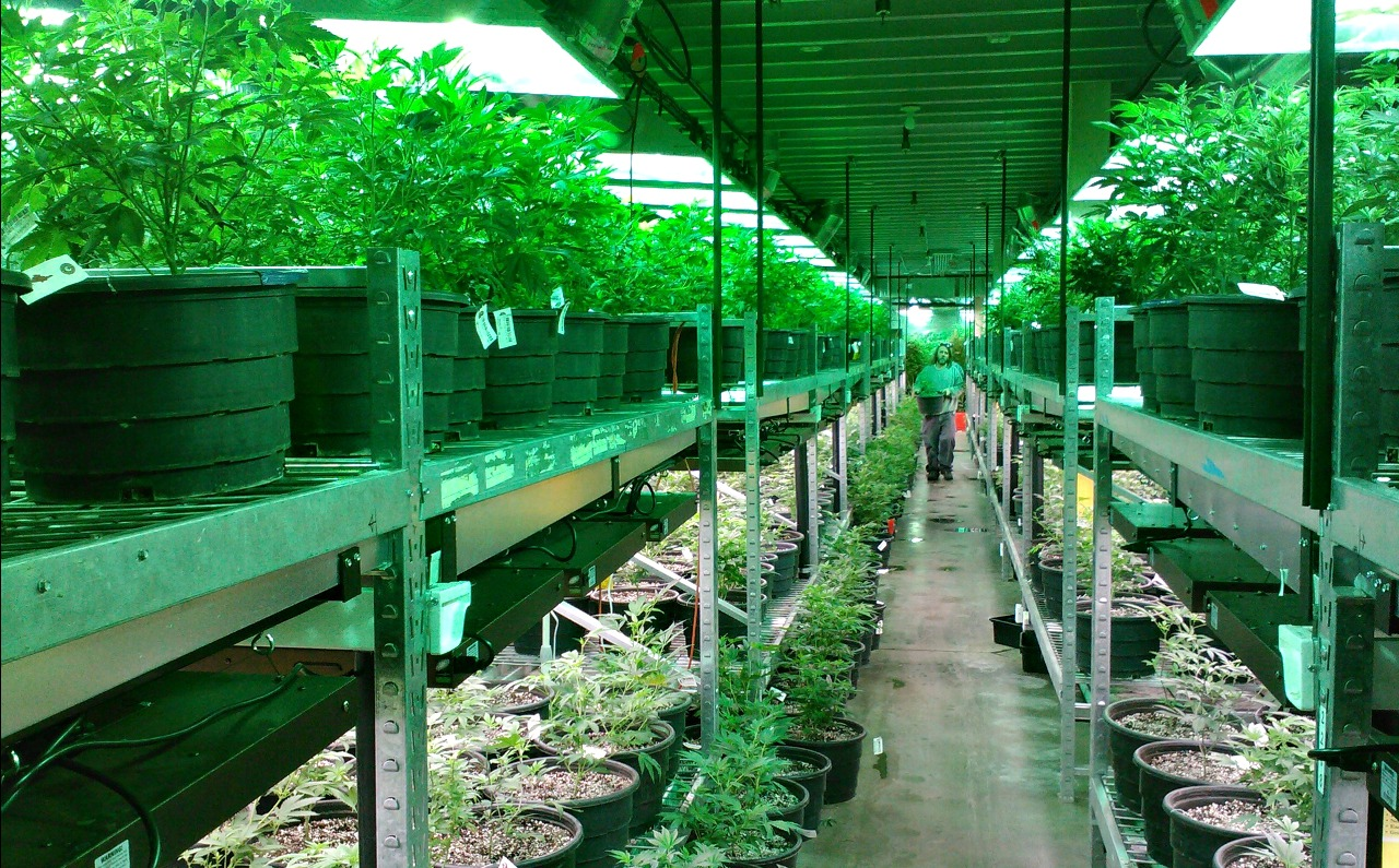 A commercial marijuana grow operation in Colorado, which legalized the drug in 2014