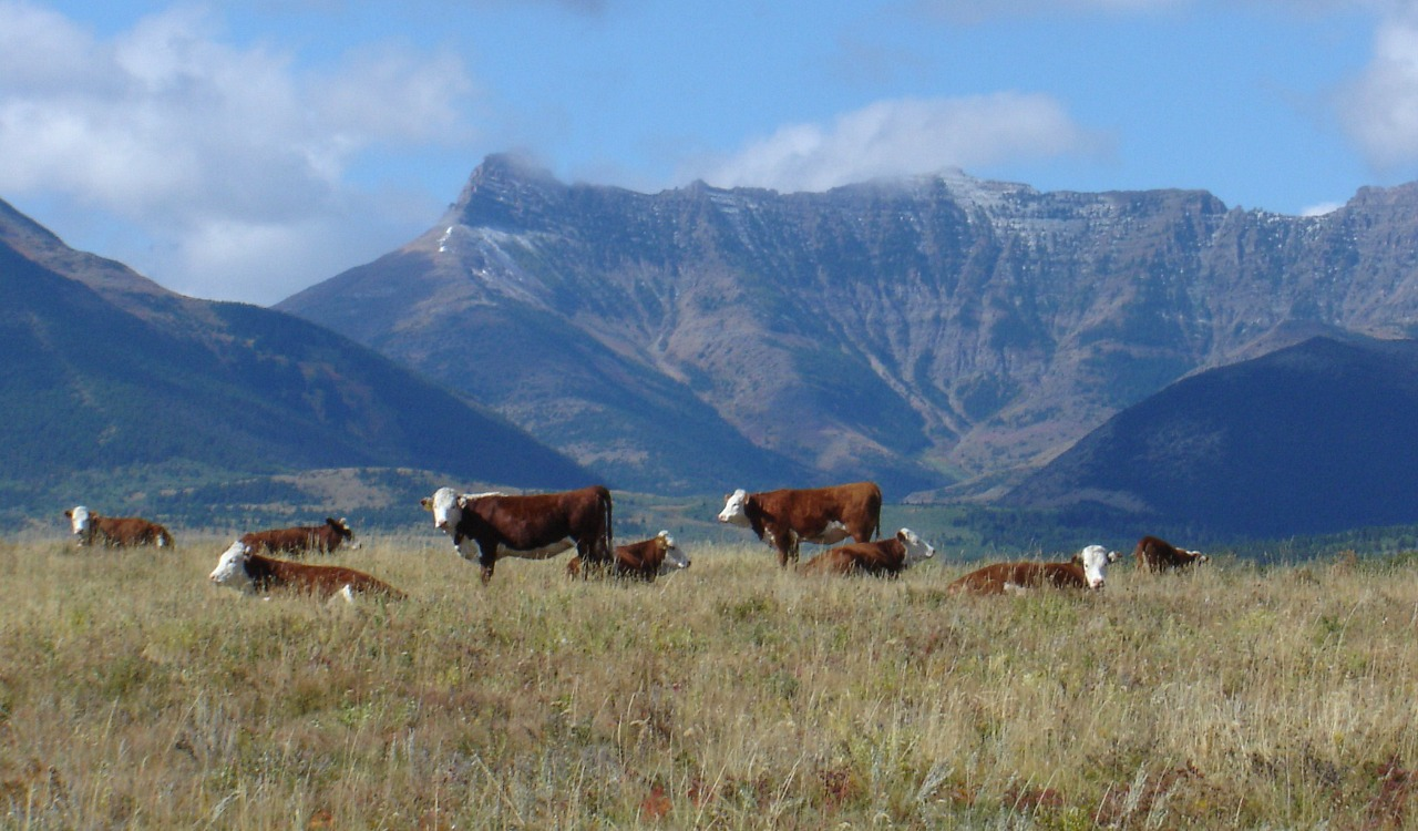 Cattle grazing near Waterton Lakes National Park in Alberta (Photo via Wikimedia Commons, CC BY-SA-4.0)