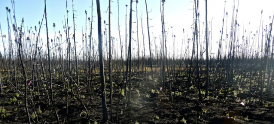 This peat plateau in the Northwest Territories was burned during the 2014 wildfire season. Since then, the blackened landscape has continued to absorb sunlight and warm the permafrost below the surface. (Photo: Carolyn Gibson)