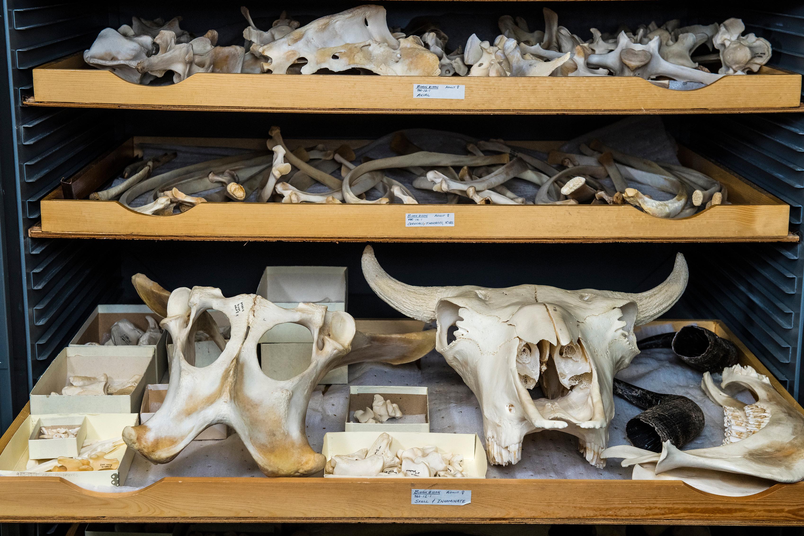 Zooarchaeology Bison Bones