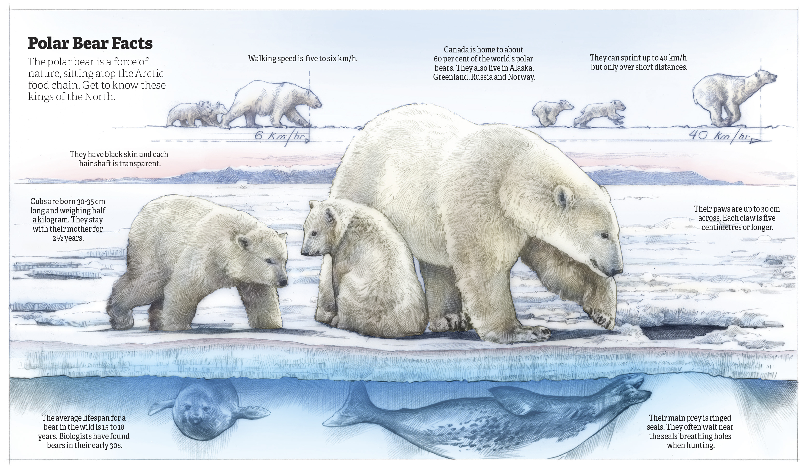 how camels and polar bears adapt 2018-7-27 it stores heat inside of its fur although sometimes it doesn'twork polar bears are made for antarctic environments.