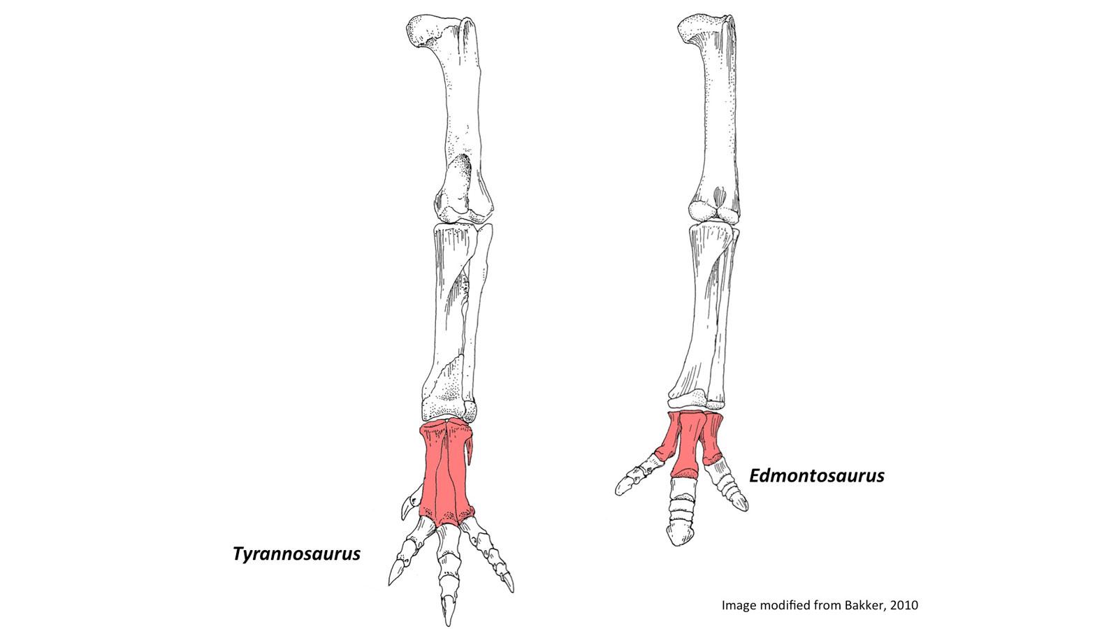 Comparison of Tyrannosaurus Rex and Albertosaurus metatarsal bones