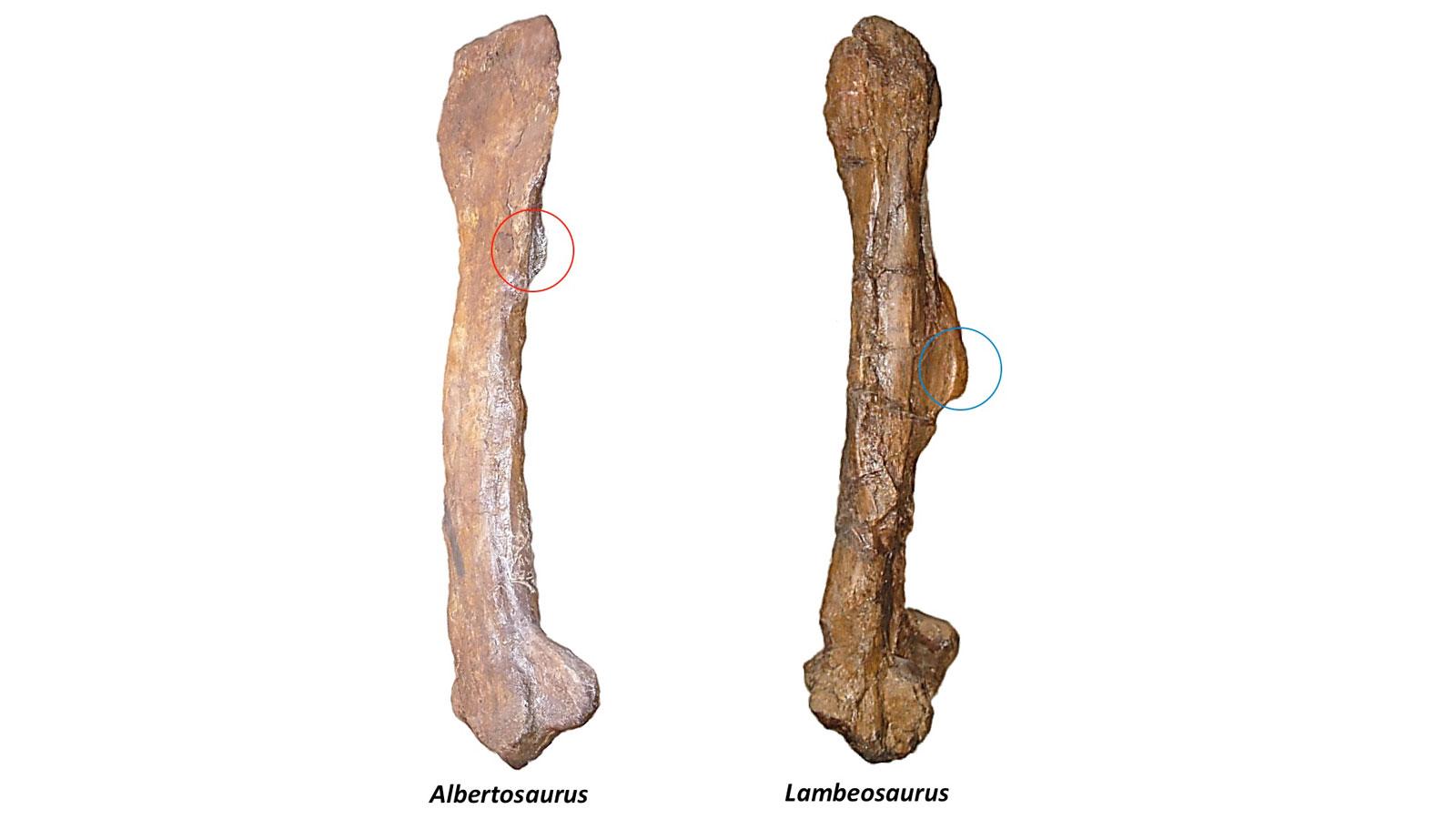 Comparison of Tyrannosaurus Rex and Albertosaurus femer bones
