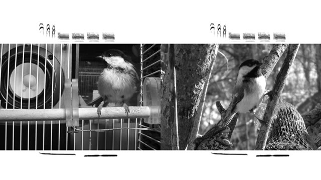 Songbird Neuroethology Lab