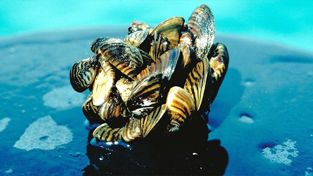 A close-up photo of Zebra mussels.