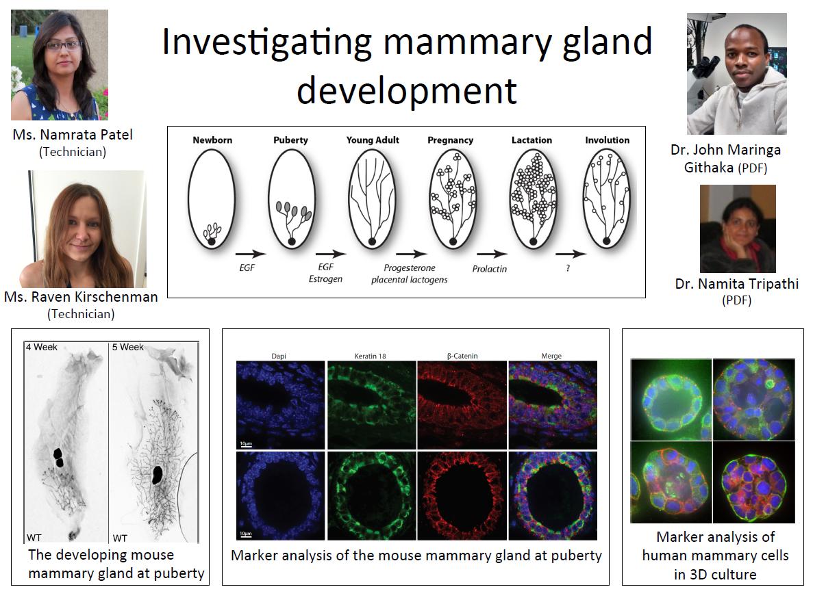 Investigating mammary gland development