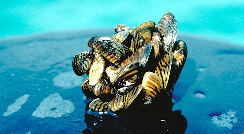 Zebra mussels like these are just one of many aquatic invasive species in Canada's rivers, lakes, and coastlines. Credit: Center for Great Lakes and Aquatic Sciences.