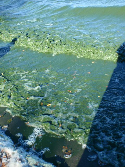 Lake Killarney Manitoba Algal Bloom (Credit: Diane Orihel)