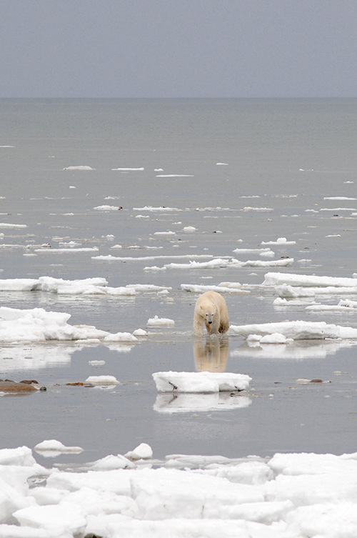 Polar bears swimming more because of sea ice loss