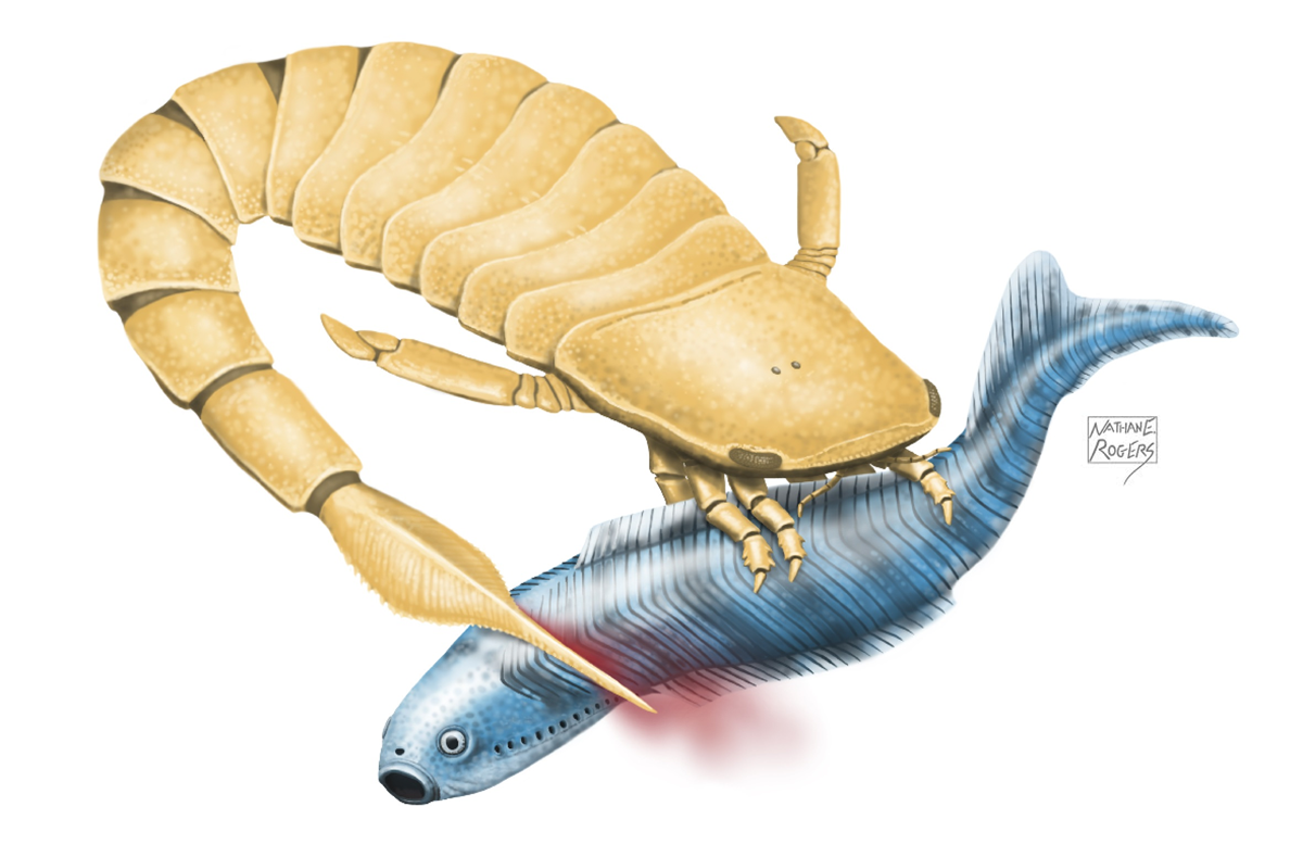 Illustration of a sea scorpion attacking an early vertebrate. Credit: Nathan Rogers.