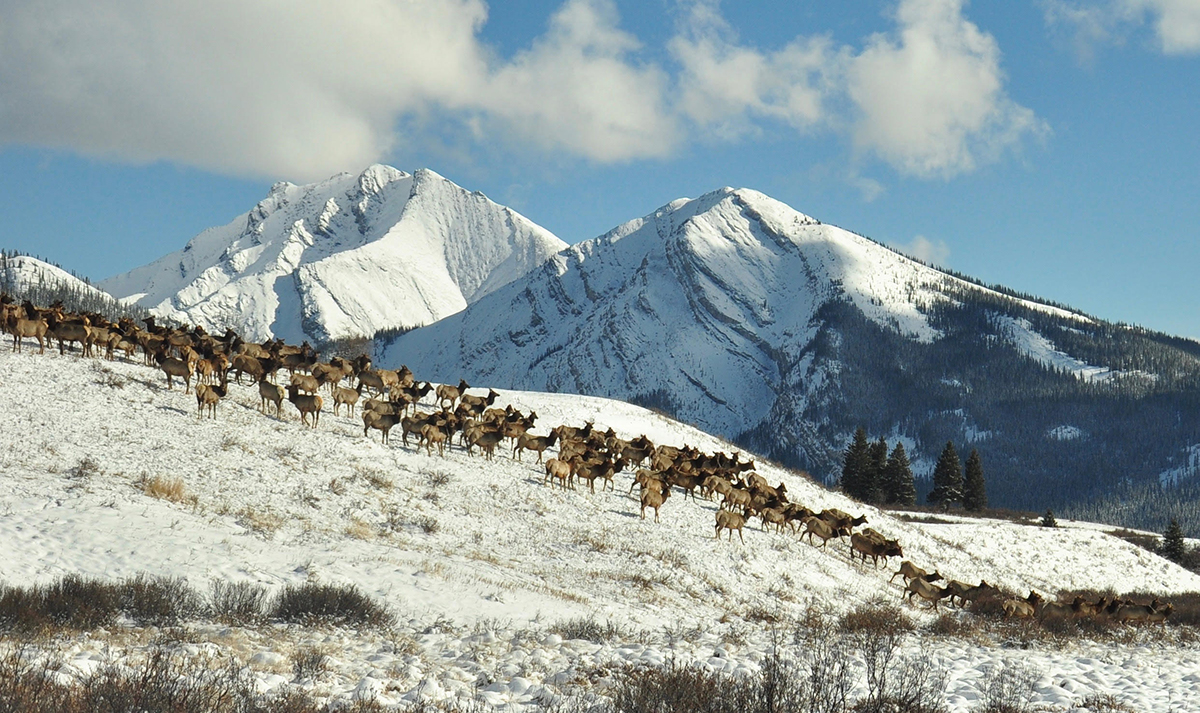 Migratory elk along the eastern front of the Rocky Mountains and around Banff National Park