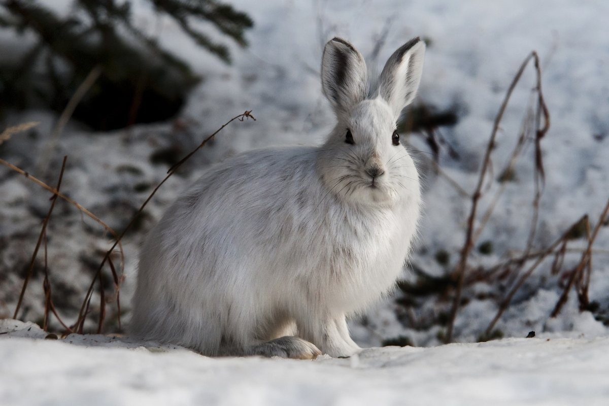 A snowshoe hare sits on the snow.