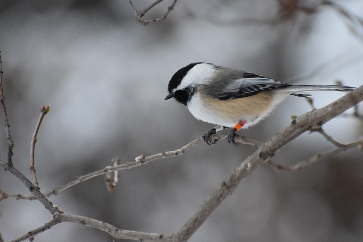 A chickadee rests on a branch with snow in the background.