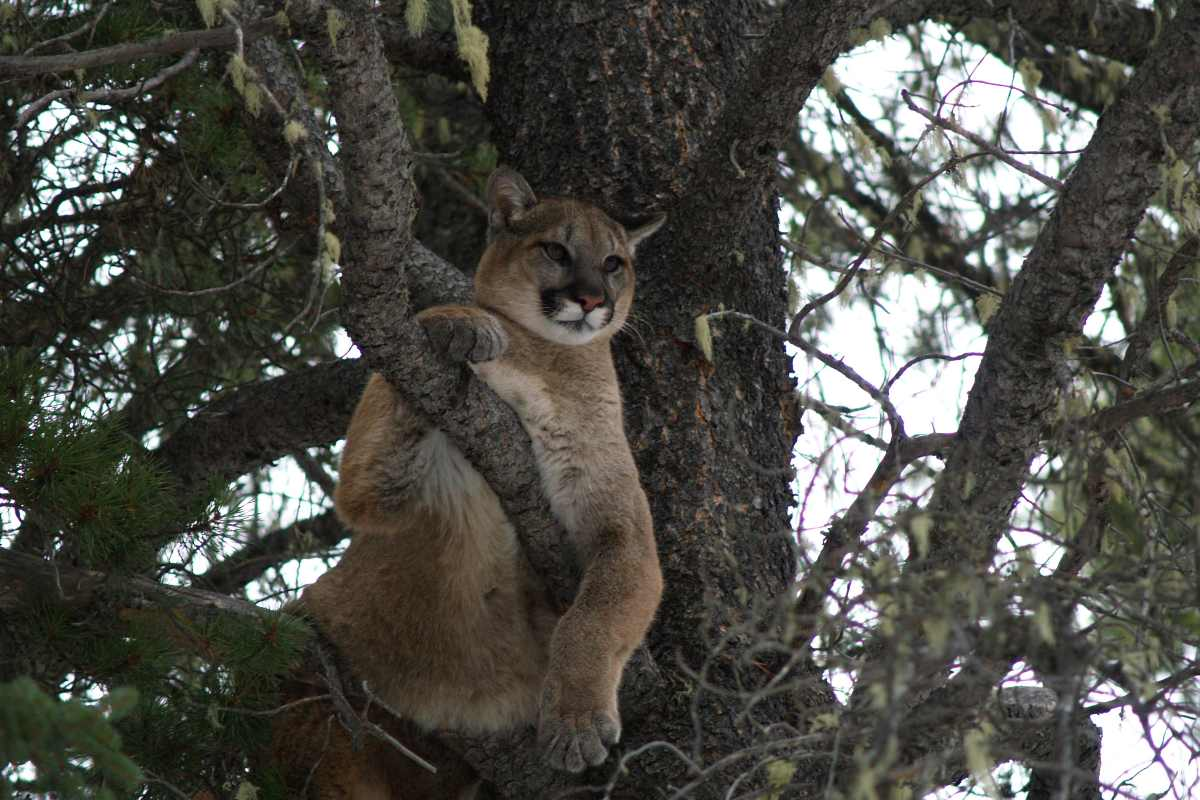 A cougar sits in a tree. A new study by University of Alberta biologists identifies three key factors for how cougars select habitats near roadways: traffic, topography, and daylight.